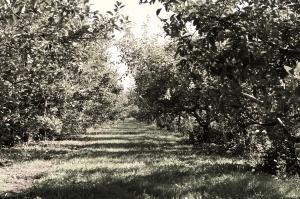 matureorchard